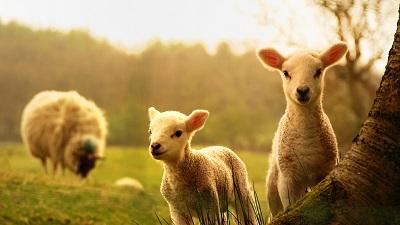 Невинные овцы