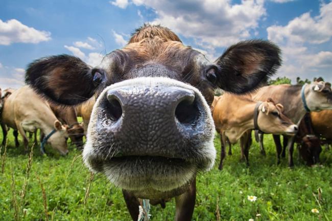 Билл Гейтс и идеальная корова