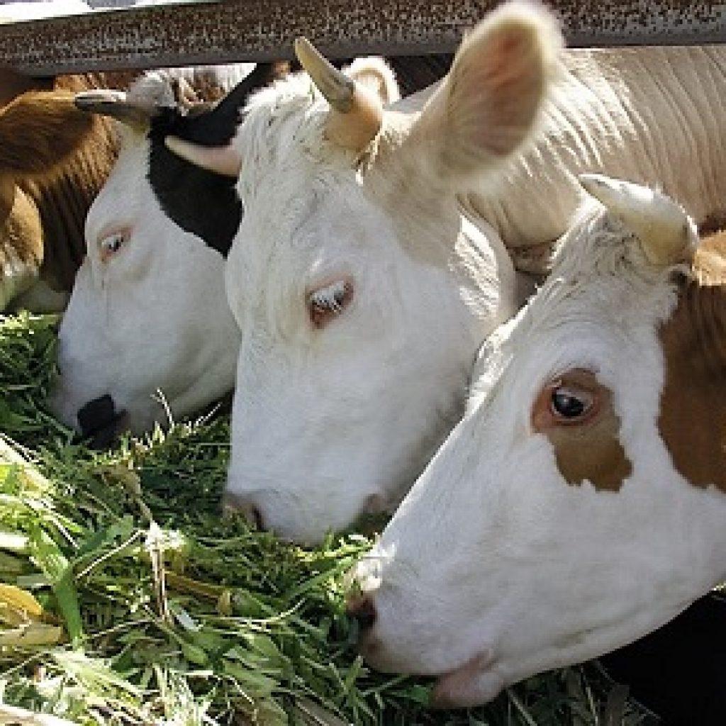 Сельское хозяйство коровы
