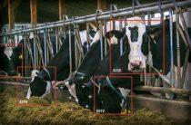 Американский агрогигант инвестировал в Face ID для коров