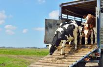 Полноценный экспорт продукции животноводства из РФ невозможен без идентификации скота