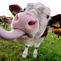 Опасная бактерия, содержащаяся в молоке, может вызывать ревматоидный артрит