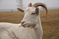 В Швейцарии хотят запретить обезроживание коз