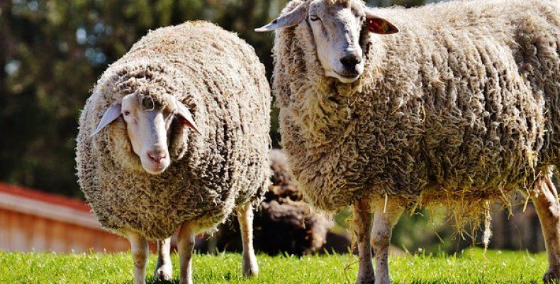 Рынок овечьих сыров чист