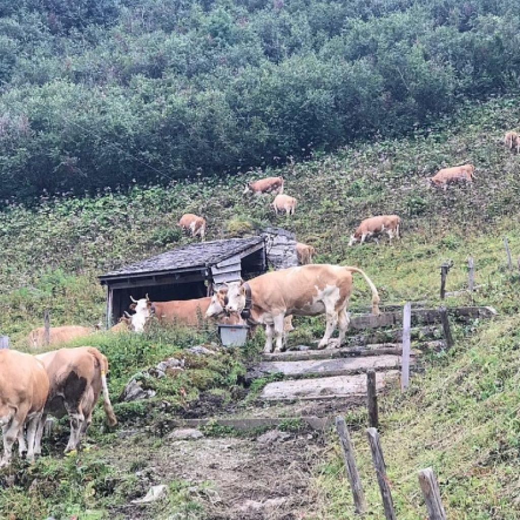 Коровы на горном лугу