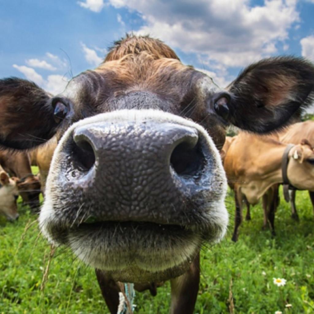 Идеальная корова