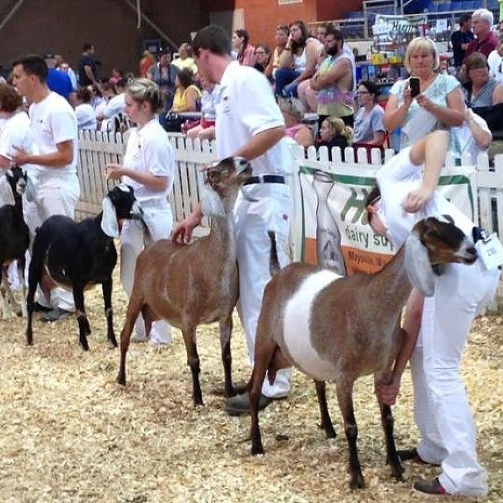 выставка коз