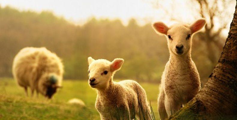 Вся правда об овцах: они вовсе не глупые и совсем не беззащитные