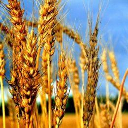 Россия сохранит лидерство по экспорту пшеницы