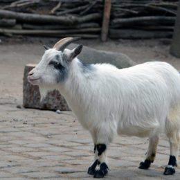 Камерунская порода — карликовые козы с высокой производительностью. Карликовые камерунские козы: особенности и содержание