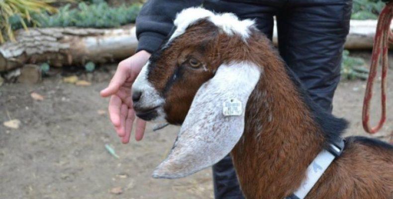 Козы Нубийской породы. Нубийские козы — описание, характеристика, продуктивность, плюсы и минусы разведения в домашнем хозяйстве (90 фото)