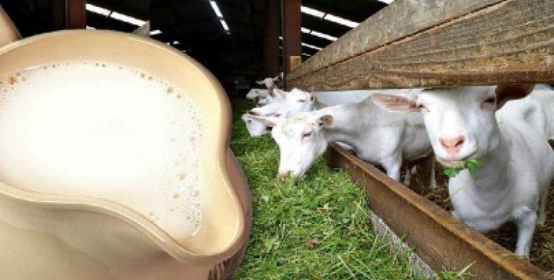 Продуктивность коз: сколько они дают молока и от чего это зависит? Сколько молока дает коза в сутки