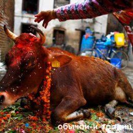 Традиции Индии: почему в этой стране корова признана священным животным? Почему в Индии корова – священное животное?